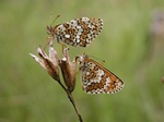 Hkblomsterntfjril (Melitaea cinxia)